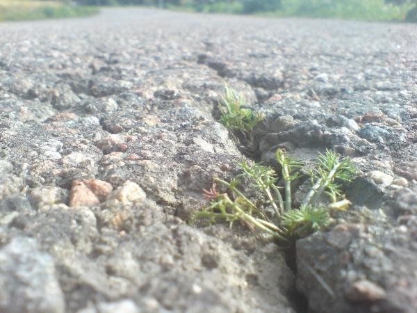 Växter i asfalten